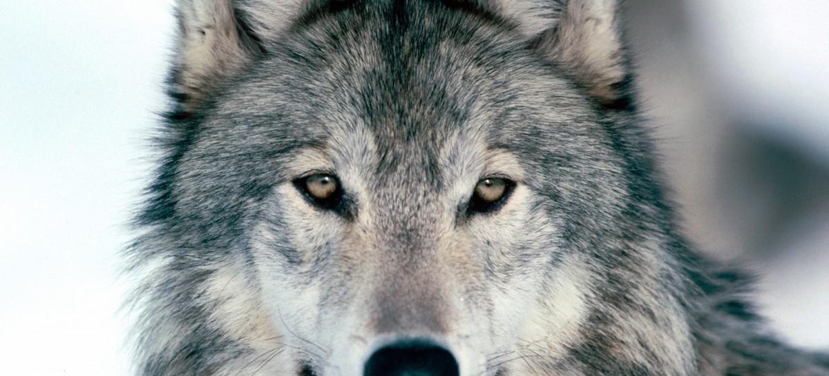Perché si dice in bocca al lupo?