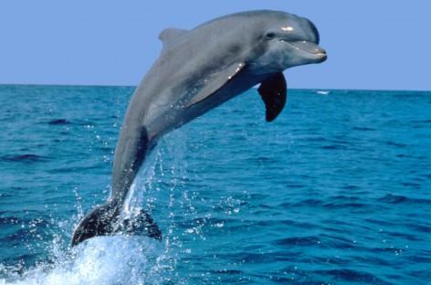 I delfini si drogano non solo il genere umano