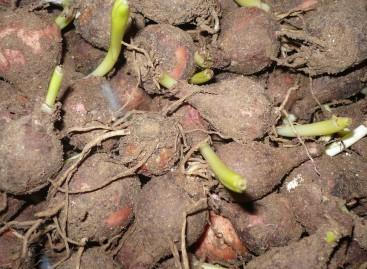 Lampascione o lampagione, prodotto agroalimentare tradizionali pugliesi