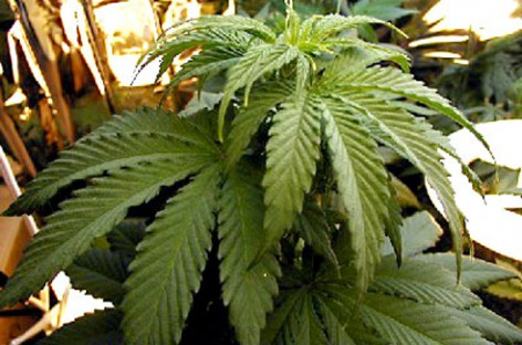 Foggia, trovate 525 piantine di marijuana a casa