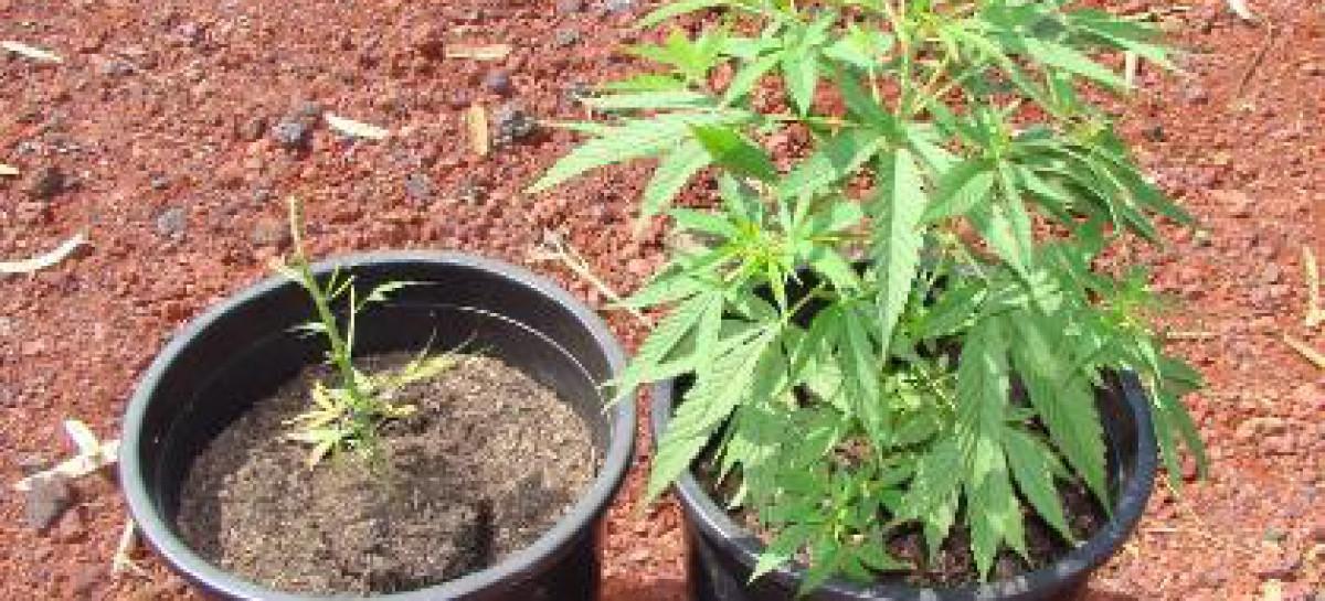 Vico del Gargano, 580 grammi di marijuana, piantine e due arresti