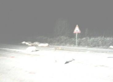 Incidente devastante ,travolge un gregge di pecore sulla Statale 89
