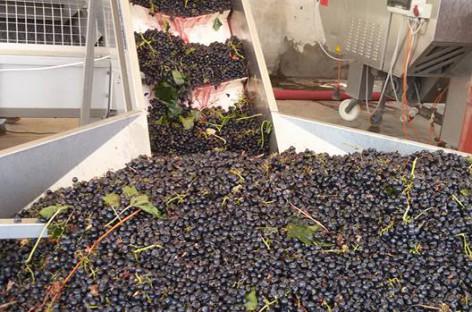 Uva da vino, l'allarme Cia Foggia: prezzi bassi e agricoltori in difficoltà