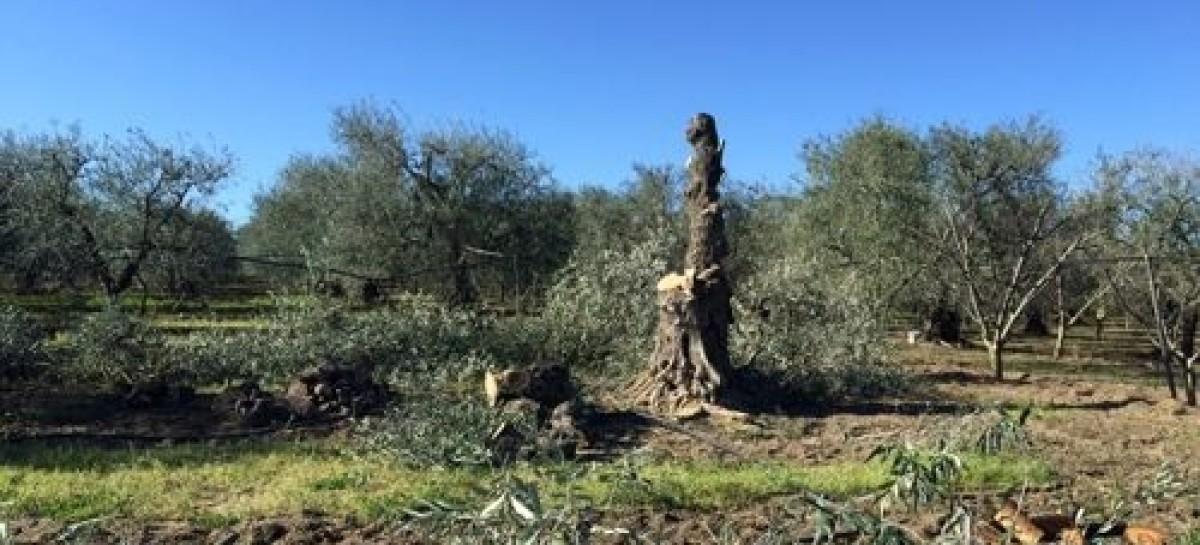 Sradicano 107 alberi e minacciano il proprietario: ARRESTATI due soggetti di Cerignola