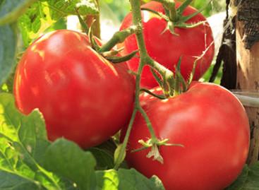 Pomodoro italiano: Cia, contratto subito o sarà guerra della passata e dei pelati