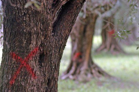 """Xylella, Cia Puglia: """"Riavviare subito il monitoraggio"""""""