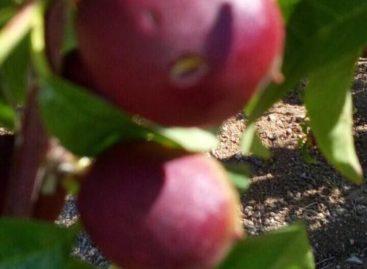 Maltempo, in Puglia la grandine danneggia pesche e albicocche