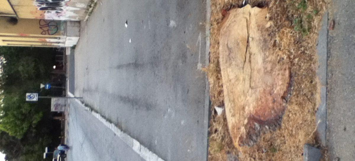 Taglio indiscriminato alberi – Nobile (SI) e Rizzi (AL): Landella e Morese aprano a tavolo tecnico con associazioni ambientaliste per soluzioni alternative a taglio