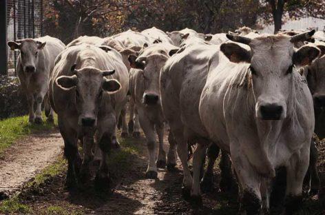 Carne bovina, c'è anche la Puglia nella OI che rilancia i consumi e promuove qualità